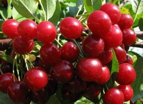 Описание и популярные сорта гибрида вишни и сливы