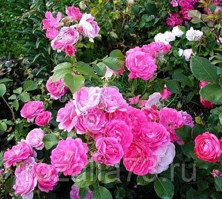 Наиболее распространенные сорта канадских роз с фото и описанием
