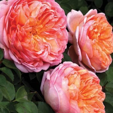 Роза «абрахам дерби» — описание, фото, особенности выращивания английской розы