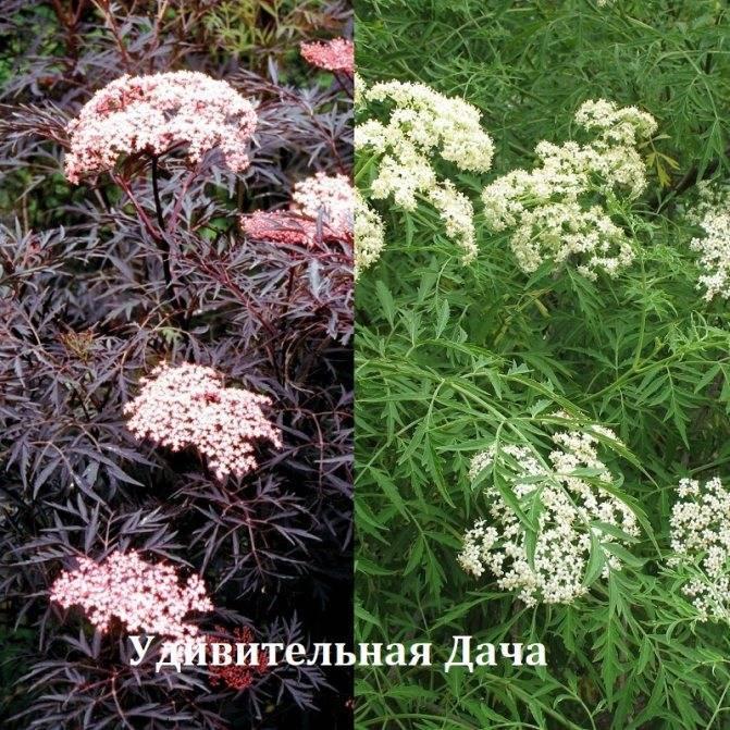 Черная бузина (sambucus nigra)