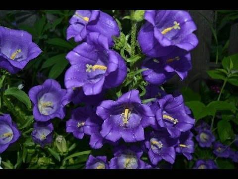 «колокольчики мои, цветики степные…»