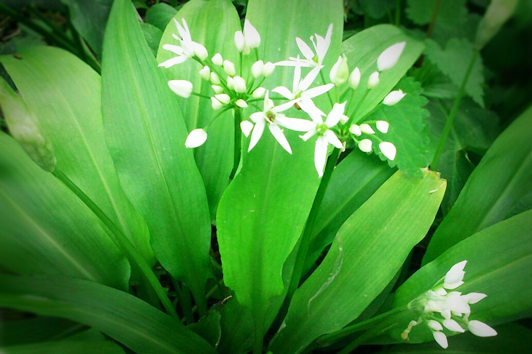 Что такое черемша, чем она полезна, как выглядит и где растет, фото растения