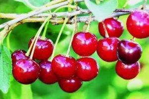 Вишня «уральская рубиновая» — особенности выращивания