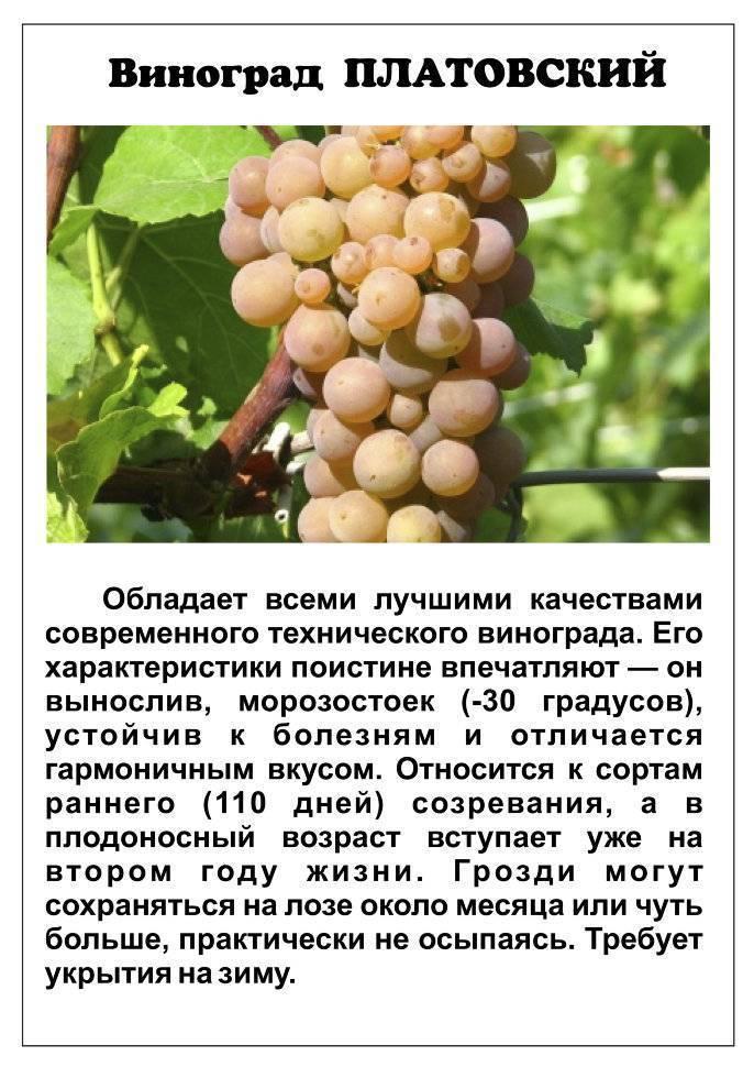 Сорт винограда платовский