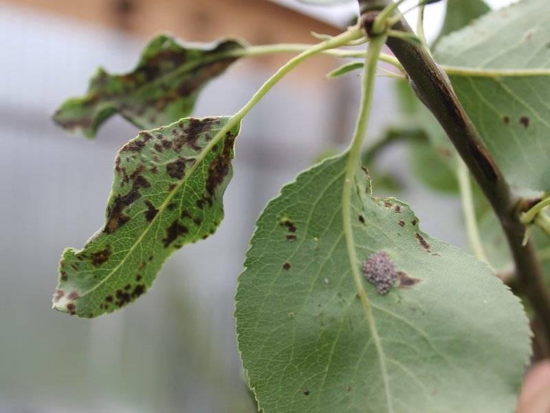 На листьях груши появились пятна