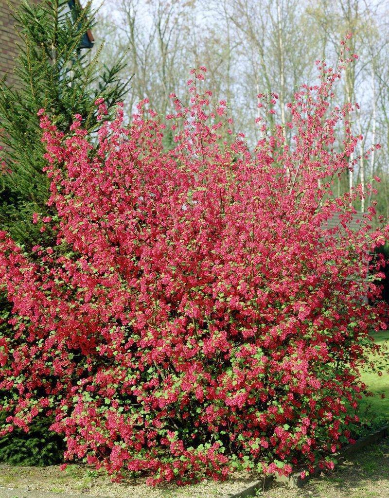 Красная смородина натали: описание сорта, уход и выращивание