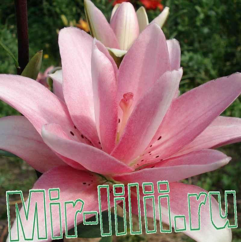 О лилии элоди (elodie): описание и характеристики махрового азиатского гибрида