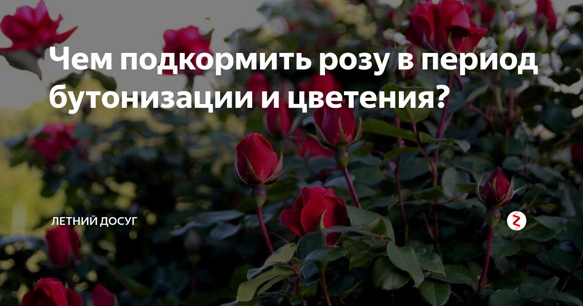 Подкормка роз летом, весной, во время цветения, после цветения, дрожжами, золой