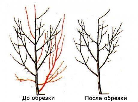 Как обрезать сливу весной, как формировать сливу - инструкция для начинающих