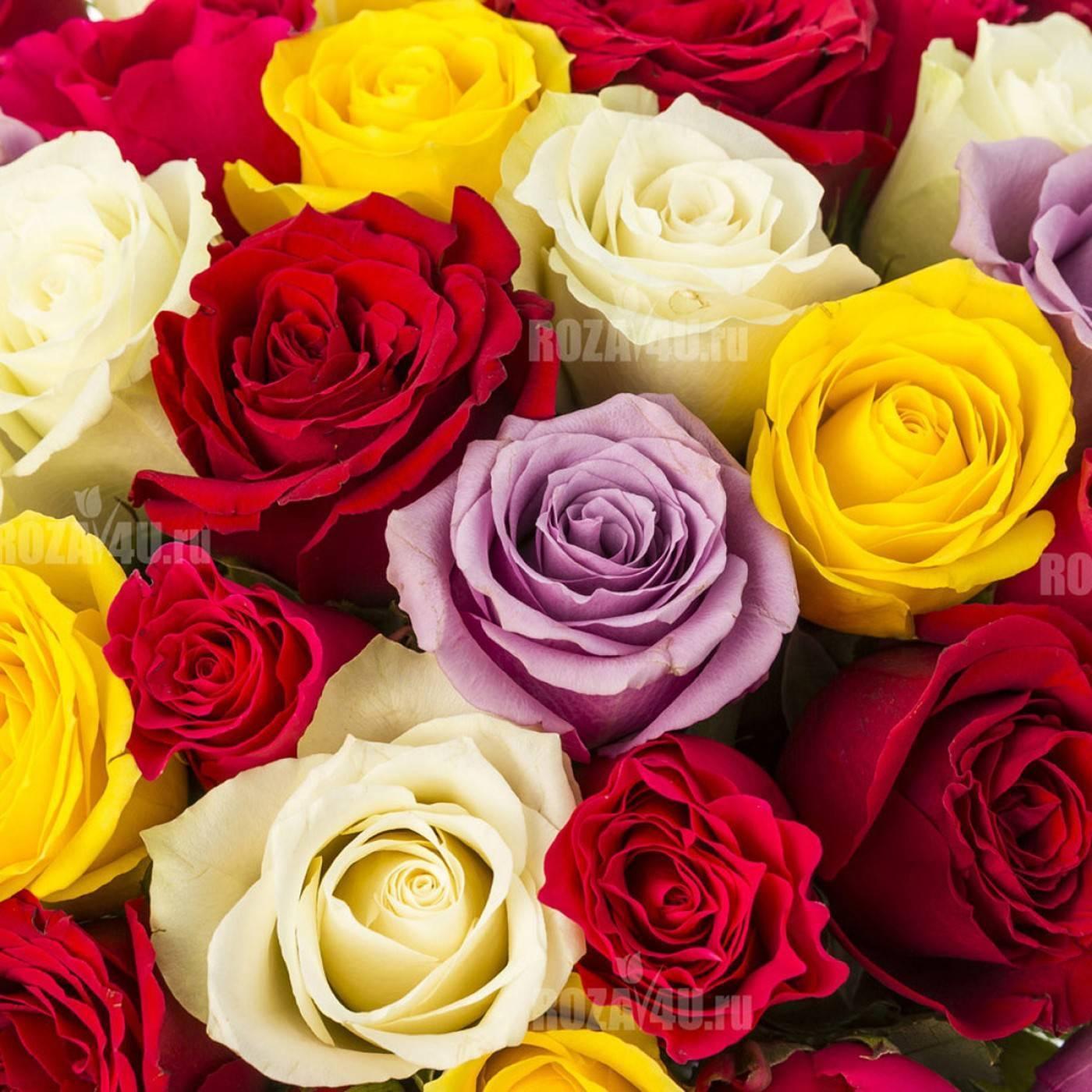 Роза кордана (kordana) — уход дома и на улице в саду