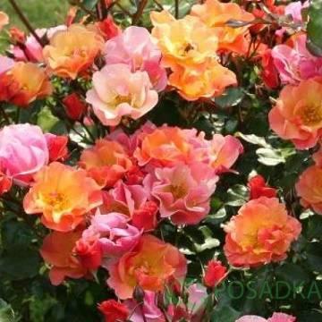 Почвопокровное растение из семейства роз джаз: описание сорта, как ухаживать