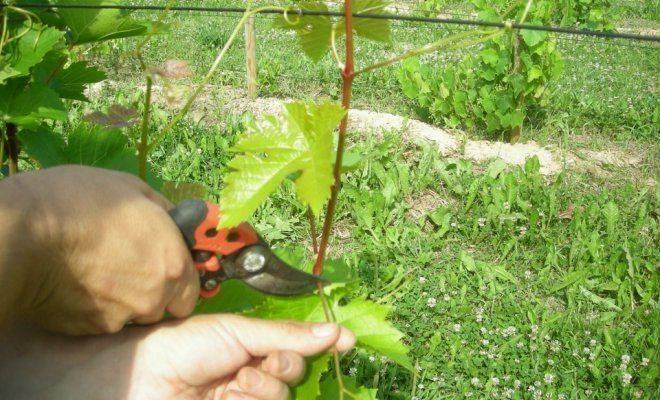 Можно ли обрывать усы на винограде во время выбрасывая соцветий и цветения