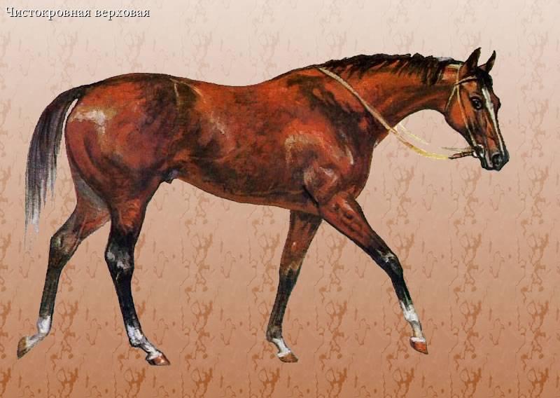 Чистокровная верховая лошадь — википедия переиздание // wiki 2