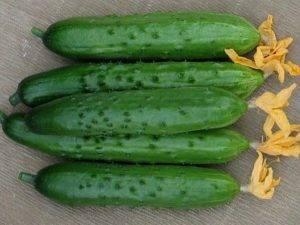 Сорт огурцов зозуля f1
