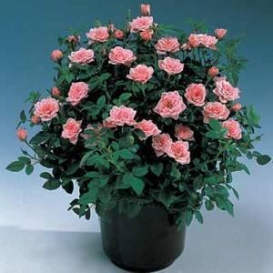 Кустовая роза в горшке: уход в домашних условиях и выращивание комнатного цветка, описание и виды, болезни и вредители, а также как правильно размножить?