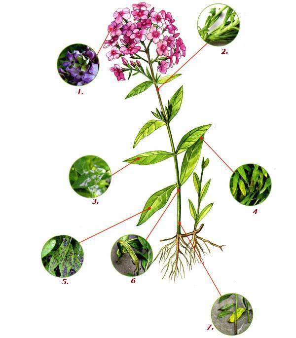 Основные причины пожелтения листьев флоксов – способы лечения растения
