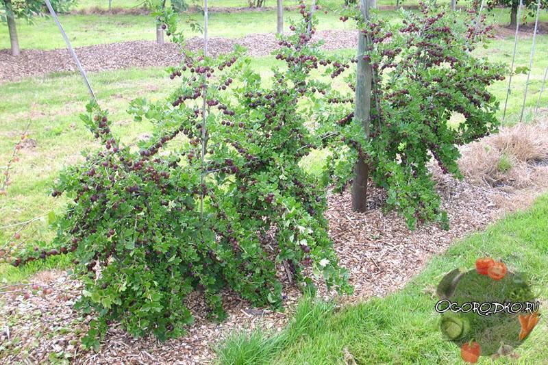 Чем подкормить кусты крыжовника по весне и зачем их обрезать