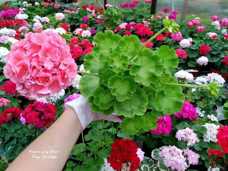 Уход за геранью в домашних условиях: пошаговые советы начинающим, как правильно заниматься выращиванием и содержанием комнатных цветов, фото вьющейся и других сортов