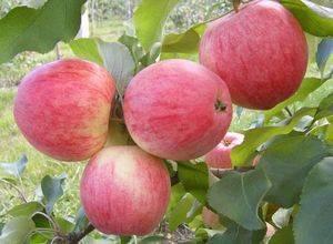 Особенности сорта яблони услада