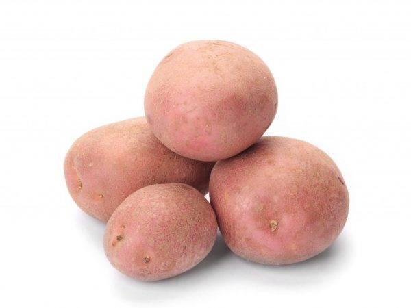 Биологические особенности картофеля, технология его возделывания, сорт картофеля, возделываемый в хозяйстве, его характеристика - выращивание и хранение продовольственного и семенного картофеля