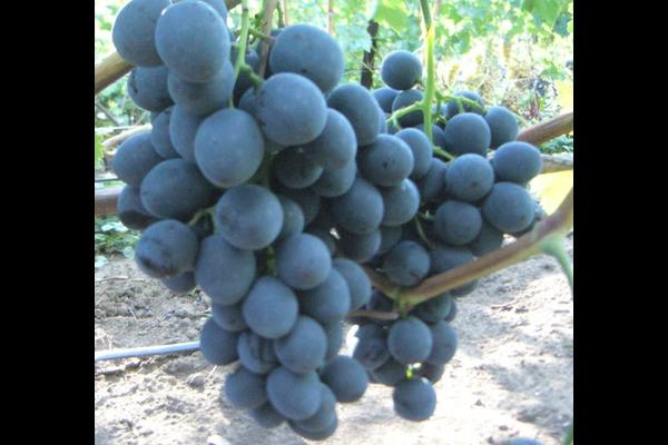 Описание винограда сфинкс