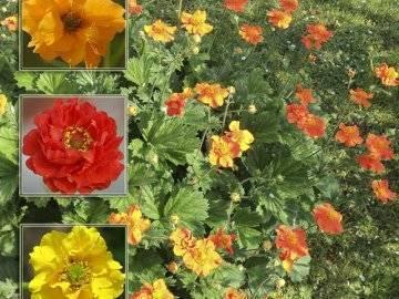 Выращивание чилийского гравилата из семян, посадка и уход, сорта