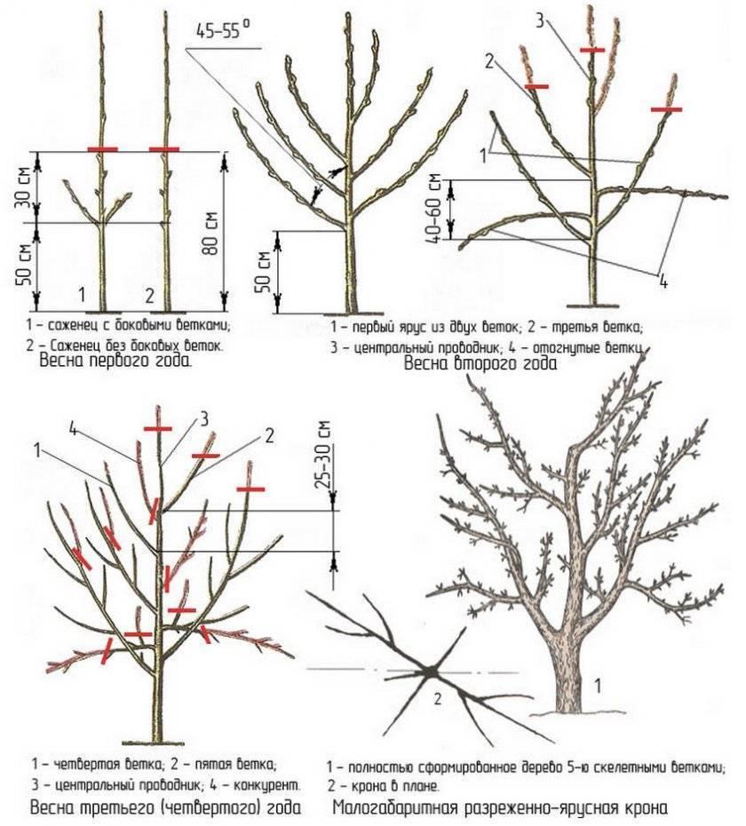 Обрезка деревьев: 7 правил формирования кроны плодовых насаждений