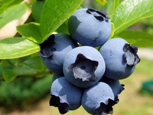 Голубика нортланд: характеристика сорта и правила выращивания
