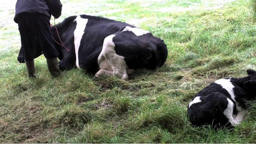Парез вымени у коров после отела