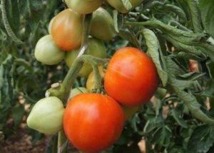 Семена томатов от коллекционеров на 2020 год, купить семена, каталог