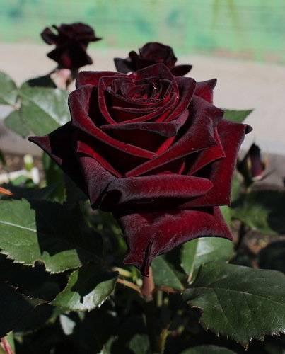 Роза блэк баккара (black baccara): фото сорта, описание, отзывы, в ландшафтном дизайне