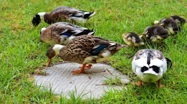 Особенности разведения башкирской утки в домашних условиях