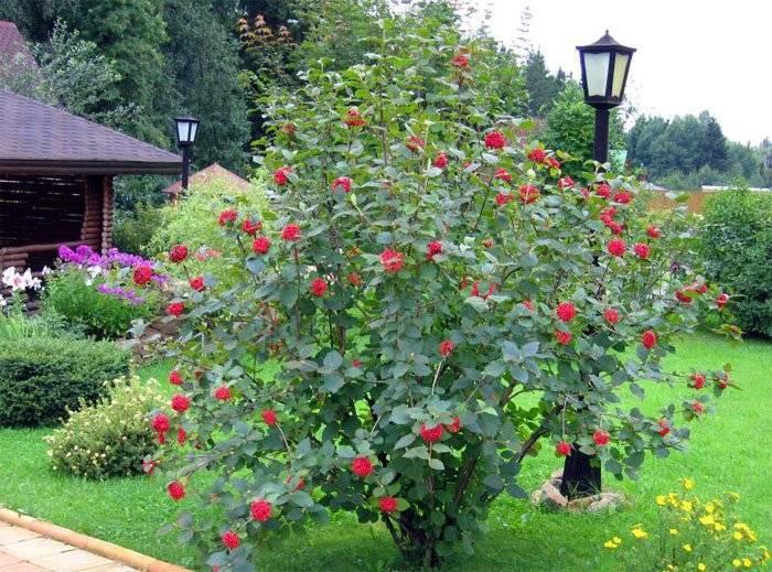 Растим калину правильно: от выбора сорта до посадки и ухода