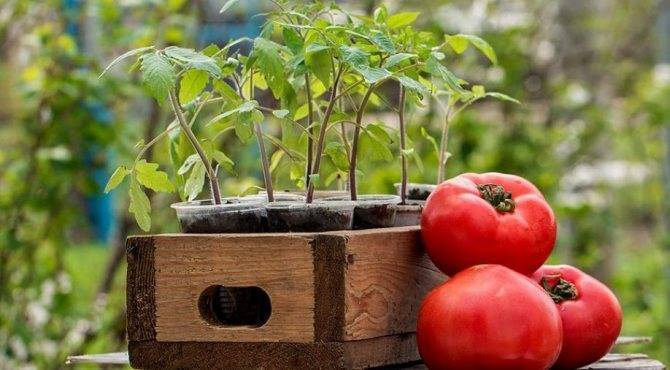 Посев помидоров на рассаду – пошаговая инструкция