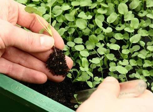 Рассада цветной капусты – как вырастить без проблем