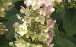 Как посадить и вырастить на даче гортензию метельчатую сорта вимс ред
