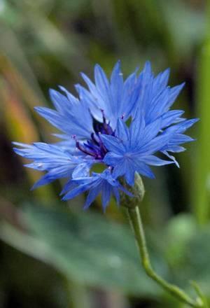О видах (разновидностях) васильков, выращивание разноцветных растений из семян