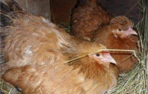 Как можно отучить курицу от насиживания яиц: способы согнать с гнезда
