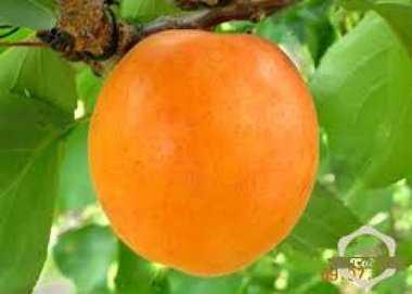 Особенности выращивания абрикоса полесский крупноплодный и ухода за ним