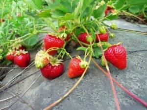 Клубника весной и в начале лета: выращиваем, как в лесу. посадка и выращивание садовой земляники