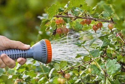 Крыжовник на даче – правила выращивания и ухода