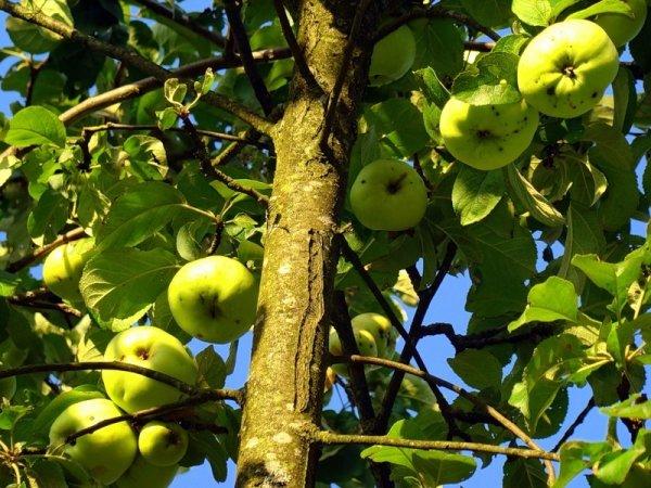 Сорт яблони богатырь: описание и правила выращивания