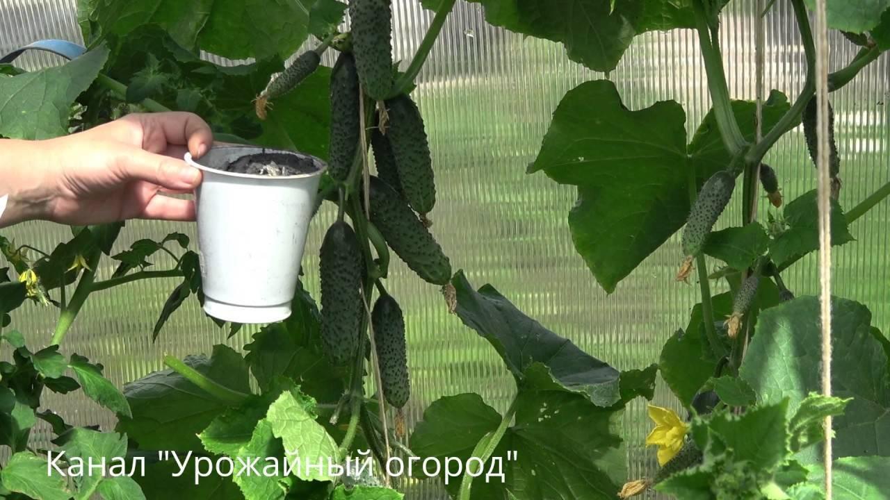 Чем подкормить рассаду огурцов, чтобы были толстенькие