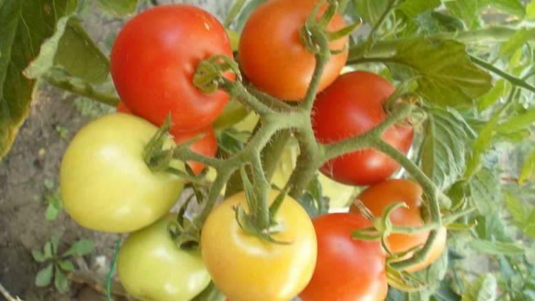 Томат ляна: описание сорта, отзывы, фото, урожайность   tomatland.ru