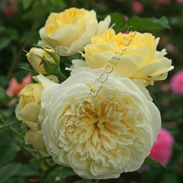 Особенности выращивания розы пилигрим