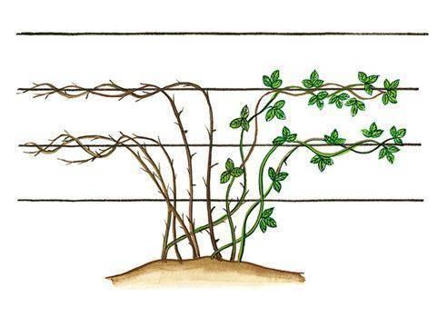 Как растет ежевика при правильном уходе: посадка, подвязка, размножение