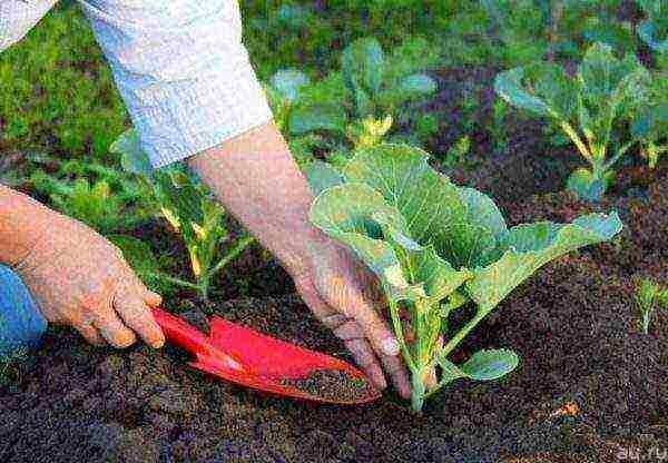 Грунт под томаты - подготовка почвы для посадки томатов