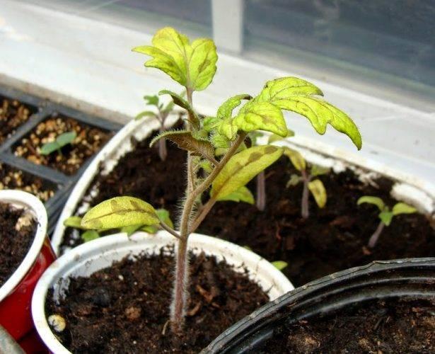 Как разводить эпин экстра для опрыскивания томатов. особенности применения эпина для комнатных цветов. применение эпин-экстра в сельском хозяйстве