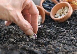Как вырастить бобы (с иллюстрациями) - wikihow