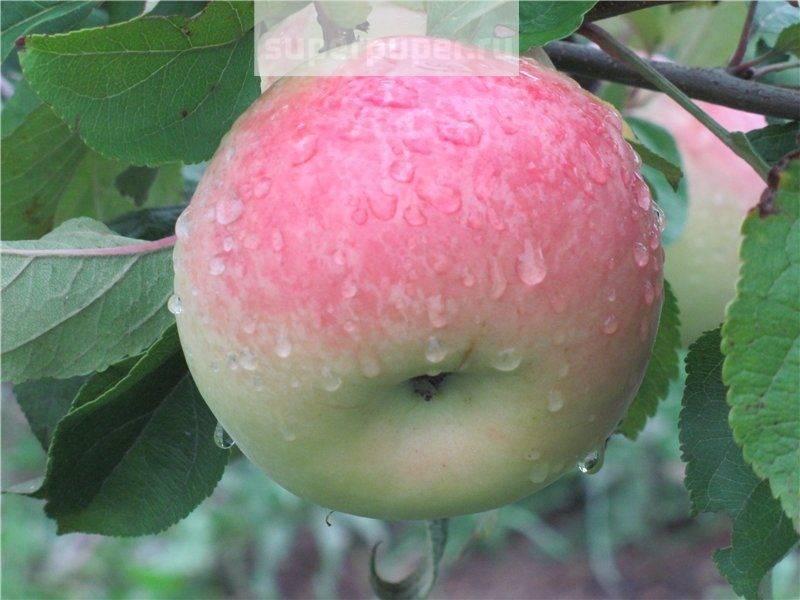 Сорт яблони мартовское